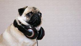 Portret śmiesznego mopsa psa słuchająca muzyka z dużymi hełmofonami zdjęcie wideo
