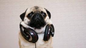 Portret śmieszny mopsa pies w dużych hełmofonach słucha muzyka zbiory wideo