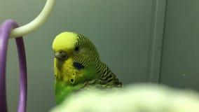 Portret żółtej zieleni budgie zdjęcie wideo