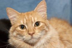 Portret żółty pomarańczowy męski kot patrzeje bezpośrednio w obiektyw obraz royalty free