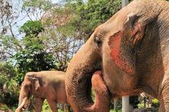 Portret żeński Azjatyckiego słonia ucho łopotanie Zdjęcie Royalty Free