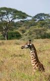 Portret żyrafa Kenja Tanzania 5 2009 Africa tana wschodnich maasai marszu spełniania Tanzania wioski wojowników Zdjęcia Stock