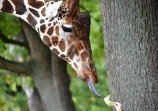 Portret żyrafa siatki Giraffa camelopardalis reticulataLinnaeus z trzepoczącym out jęzoru językiem Boczny widok Obrazy Royalty Free