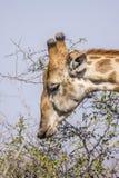 Portret żyrafa w Kruger parku, Południowa Afryka Fotografia Stock