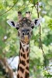 Portret żyrafy, Południowy Luangwa park narodowy, zambiowie Fotografia Stock