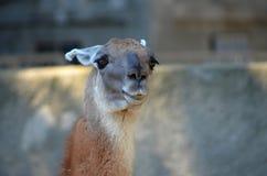 Portret лама Брайна Стоковые Фотографии RF