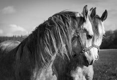 Portret аравийских лошадей Стоковая Фотография