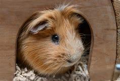 Portret красной морской свинки в ее деревянном доме Стоковые Изображения RF