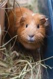 Portret красной морской свинки Стоковое Фото