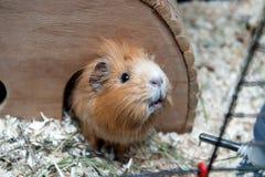 Portret морской свинки в ее деревянном доме Стоковое фото RF