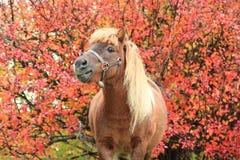 Portret пони Стоковое Изображение