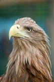 orła portret Fotografia Royalty Free