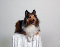 Portret 2 van de collie Stock Afbeelding