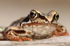 Portret żaba Zdjęcia Royalty Free