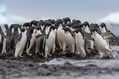 Portret Adelie pingwin Adelie pingwiny przewodzi dla morza ale niektóre zmiany ich umysły i wracający przeciw strumieniowi fotografia stock