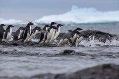 Portret Adelie pingwin Adelie pingwiny przewodzi dla morza zdjęcia royalty free