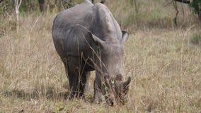 Portret Afrykański Biały nosorożec pasanie W Bush W przyrody sawannie zbiory