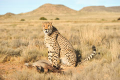 Portret afrykanina gepard chroni swój posiłek Obraz Royalty Free