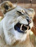 Portret afrykanina zoo lwa Żeński plątanie Zdjęcie Royalty Free