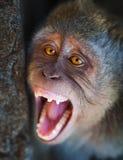 Portret agresywny małpy zakończenie up Zdjęcie Stock
