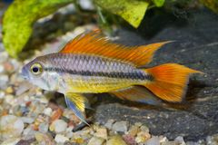 Portret akwarium ryba - kakadu cichlid Apistogramma cacatuoides w akwarium obraz stock
