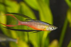 Portret akwarium ryba - Threadfin rainbowfish Iriatherina werneri w akwarium obrazy royalty free