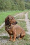 Portret Alpejski Dachsbracke Zdjęcie Royalty Free