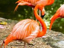 Portret Amerykańscy flamingi Fotografia Stock