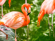 Portret Amerykańscy flamingi Zdjęcie Stock