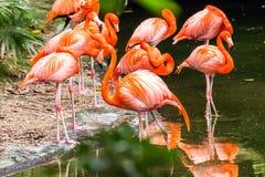 Portret Amerykańscy flamingi Fotografia Royalty Free