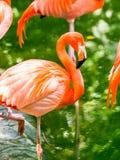 Portret Amerykańscy flamingi Zdjęcia Royalty Free