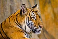 Portret Amur tygrysy Zdjęcie Stock