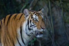Portret Amur tygrysy Obrazy Stock