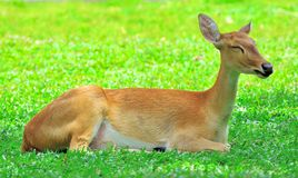 Portret antylopa odpoczywa na zielonej trawie Zdjęcie Royalty Free