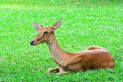 Portret antylopa odpoczywa na zielonej trawy tle Zdjęcie Stock
