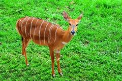 Portret antylopy brown rogacz na zielonej trawy tle, Obraz Stock