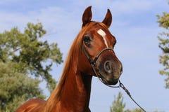 Portret arabski koń przeciw niebieskiemu niebu Zdjęcia Stock