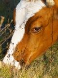 Portret łasowanie krowa Zdjęcie Stock