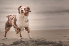 Portret australiano del perrito del pastor en la playa fotografía de archivo libre de regalías