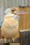 Portret Australijski Roześmiany Kookaburra Fotografia Stock