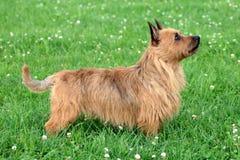 Australijski Terrier pies zdjęcie stock