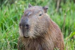 Portret av en capybara i träsket av Esteros del Ibera Arkivfoton