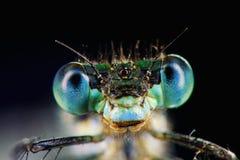 Portret błękitny dragonfly Zdjęcie Stock