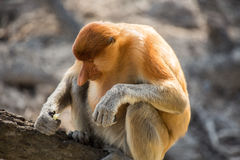 Portret bajecznie długonosa małpa Obrazy Royalty Free