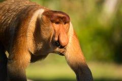 Portret bajecznie długonosa małpa Obraz Royalty Free