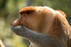 Portret bajecznie długonosa małpa Zdjęcia Stock