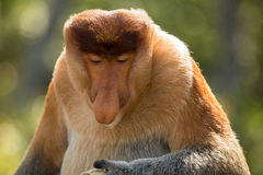 Portret bajecznie długonosa małpa Obraz Stock