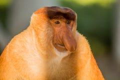 Portret bajecznie długonosa małpa Zdjęcie Stock