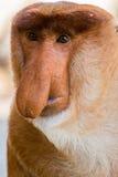 Portret bajecznie długonosa małpa Zdjęcie Royalty Free