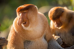 Portret bajecznie długonosa małpa Fotografia Royalty Free